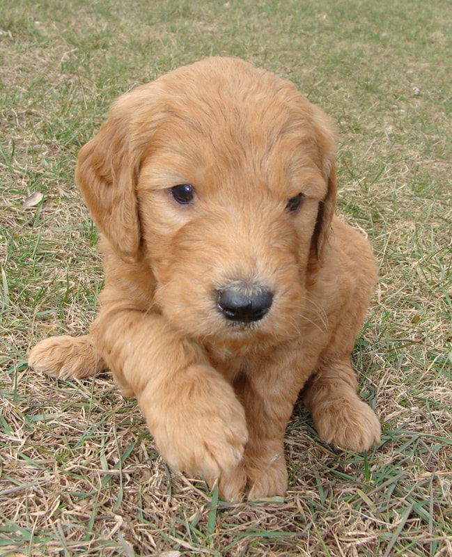 Irish Doodle & Goldendoodle Puppies For Sale Eagle Valley Puppies